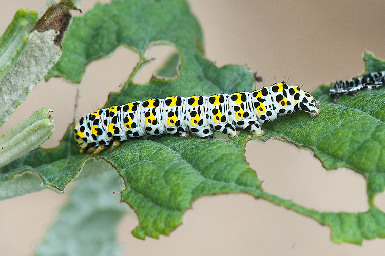 Mullein moth caterpillar (Shargacucullia verbasci) feeding on buddleia, mid June.