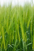 Winter barley in ear - Lincolnshire; June