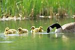 Canada Goose (Branta candensis)
