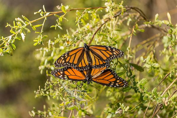 Western Monarch Butterflies (Danaus plexippus) mating.  California.  February.