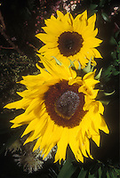 Sunflower Prado Yellow Helianthus annuus, yellow with brown seed center