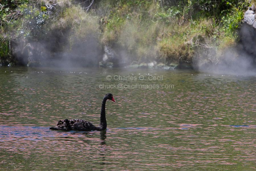 Ohinemutu Village, Lake Rotorua.  Black Swan, Steam from Thermal Springs Rising in Background.