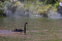 Ohinemutu Village, Lake Rotorua.  Black Swan, Steam from Thermal Springs Rising in Background.