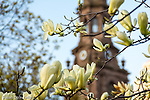 Magnolias on Boylston Street  in Boston's Back Bay neighborhood, Boston, Massachusetts, USA