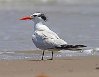 Royal tern in post-breeding plumage in July