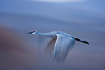 Sandhill Crane (Grus canadensis) flying, Bosque del Apache National Wildlife Refuge, New Mexico
