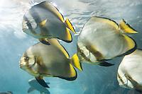 Rundkopf-Fledermausfisch, Gewöhnlicher Fledermausfisch, Fledermaus-Fisch, Platax orbicularis, orbicular batfish, Orbiculate Batfish