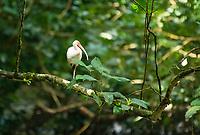 White Ibis, Eudocimus albus, in Carara National Park, Costa Rica