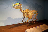 Replica fossil Pacific horse skeleton  Nevada State Museum and Historical Society Las Vegas Nevada