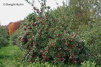 AT02-500z  Apple Tree Fall, Cortlands