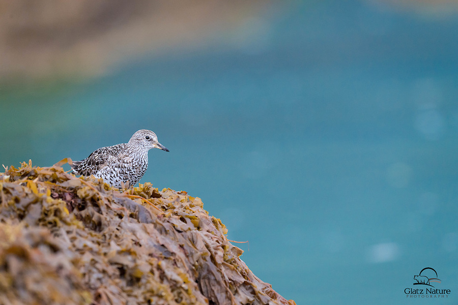 Shorebird - we think it is a Surfbird (Aphriza virgata) - takes in a nice view of Kukak Bay, from its spot on a rocky island.  Kukak Bay, Katmai National Park, Alaska.