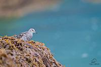 Shorebird - we think it is a Surfbird (Aphriza virgata) - takes in a nice view of Kukak Bay, from its spot on a rocky island.  Kukak Bay, Katmai National Park, Alaska.