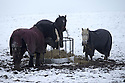 14/01/16<br /> <br /> Horses wear coats to stay warm as snow continues to fall in Sparrowpit near Buxton in the Derbyshire Peak District near Buxton.<br /> <br /> All Rights Reserved: F Stop Press Ltd. +44(0)1335 418365   +44 (0)7765 242650 www.fstoppress.com