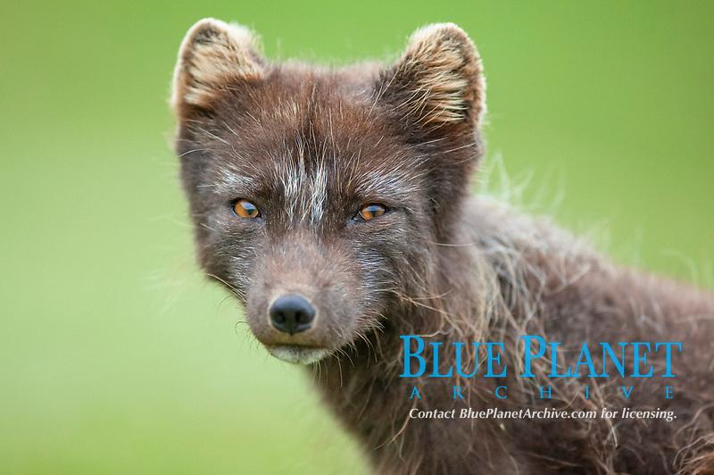 Arctic Fox (Alopex lagopus), portrait, West Fjords, Iceland, Europe