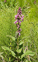 Coast Hedge-nettle, Stachys chamissonis, Point Reyes National Seashore, California
