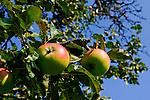 Apple-tree, Apfelbaum, Schellenberg, Liechtenstein