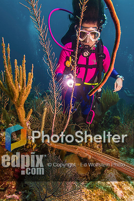 11 June 2014: SCUBA diver Sally Herschorn encounters a Trumpetfish (Aulostomus maculatus) while exploring the reef scenery at Lemon Reef, on the North Shore of Grand Cayman Island. Located in the British West Indies in the Caribbean, the Cayman Islands are renowned for excellent scuba diving, snorkeling, beaches and banking.  Mandatory Credit: Ed Wolfstein Photo *** RAW (NEF) Image File Available ***