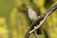 Townsend's Solitaire (Myadestes townsendi) singing. Yakima County, Washington. May.