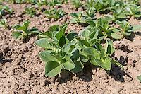 Spring bean plants - Lincolnshire, April