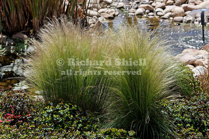 MEXICAN FEATHER GRASS, STIPA TENUISSIMA