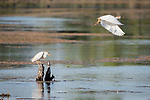 Damon, Texas; a cattle egret perched on a small tree stump in the lake while foraging for food as a second cattle egret takes flight in late afternoon light