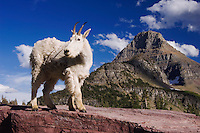 Mountain Goat,Oreamnos americanus, adult shedding winter coat Mount Reynolds, Glacier National Park, Montana, USA, July 2007