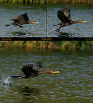 Cormorant Takeoff Double-crested Cormorant Sepulveda Wildlife Refuge Southern California Composite Image