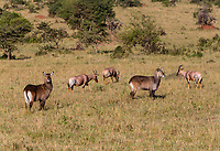 Tanzania. Serengeti. Waterbuck and Topi.