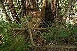 Mountain Lion (Puma concolor) den, Santa Cruz Puma Project, Santa Cruz Mountains, California
