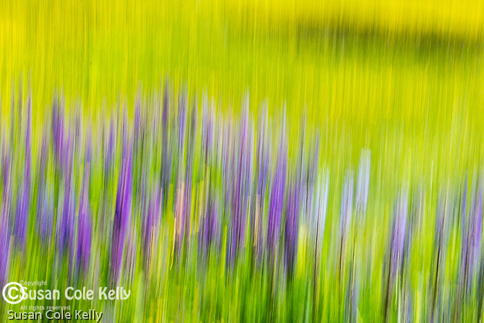 Lupines in a spring meadow.