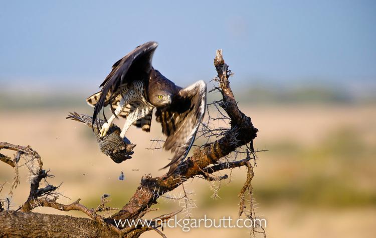 Adult martial eagle (Polemaetus bellicosus) taking a helmeted guineafowl (Numida meleagris) from an Acacia bush. Masai Mara Game Reserve, Kenya.