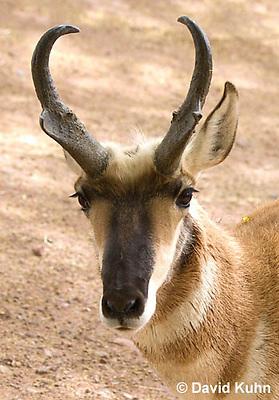 0606-1117  Pronghorn (Prong Buck) in Sonoran Desert, Antilocapra americana  © David Kuhn/Dwight Kuhn Photography