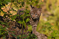Baby Bobcat watching through the brush on a rock - CA