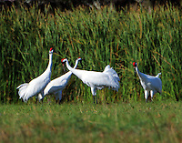 Adult whooping cranes. On the morning of Nov 19, 2015 I was treated to a rare sight at pond in the town of Lamar across St Charles Bay from the Aransas Wildlife refuge.Seven adult whooping cranes, which I determined to be three pairs plus one adult single, were feeding very close together. I have never seen this before as whooping cranes always (almost!) feed in a family group consisting of two adults plus their one or sometimes two chicks. In this case there were no young birds suggesting unsuccessful nesting for these birds. There was quite a bit of displaying with paired, evidently, cranes marching side by side with bills pointed up and wings drooping. After a while two pairs flew off leaving one pair and the single crane. The three cranes continued feeding close to each other with frequent fights between the male (I assume) of the pair and the single crane. I'm sure there was a lot of calling as I could see bills open but I couldn't hear them because of my deafness.<br />  The following set of photos is a selection of the shots I took.