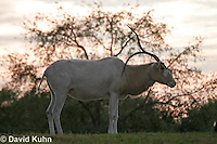 0218-08oo  Addax, Addax nasomaculatus © David Kuhn/Dwight Kuhn Photography