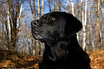 Black Labrador retriever (AKC) portrait in the fall woods.  Winter, WI.