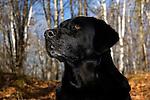 Black Labrador retriever (AKC) portrait in the fall woods.  Winter, WI.