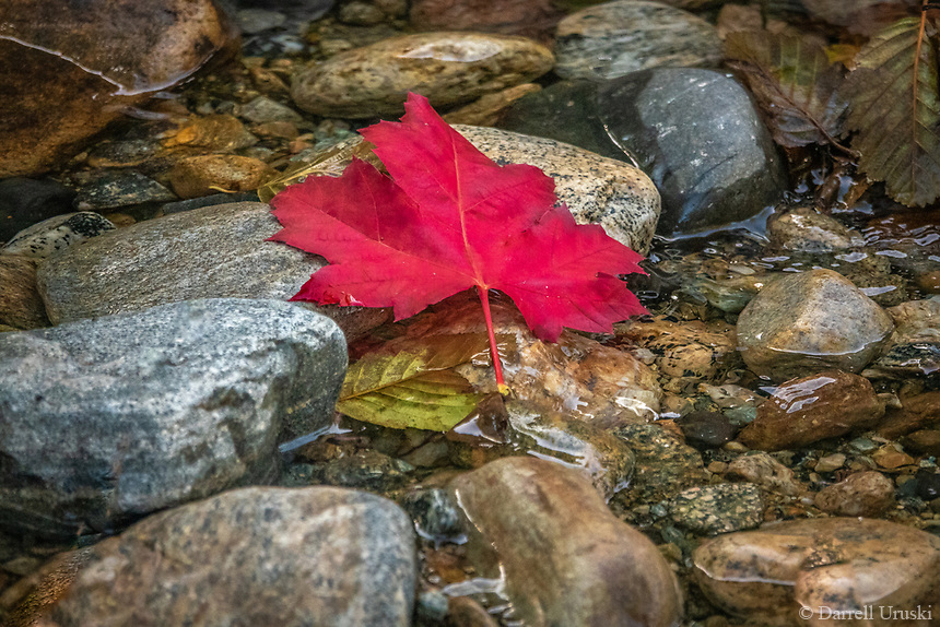 Fall Colours of a red Canadian Maple leaf as it had floated down a river amidst the rocks of the stream. This photo was taken in the beautiful Okanagan Valley in British Columbia Canada.