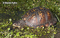 1003-0813  Male Eastern Box Turtle in Water with Watercress [Diving Sequence with 1003-0812, 1003-0814] - Terrapene carolina © David Kuhn/Dwight Kuhn Photography