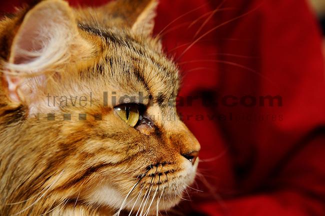 ©Paul Trummer, Mauren / FL, www.travel-lightart.com, www.digital-photos.eu, animal, animalia, animals, cat, catkins, cats, domestic cat, domestic cats, felis catus, living being, mammal, mammals, pet cat, pet cats, predator, predators, vertebrate, vertebrates, warm blooded animals, warm blooded-animal, Fauna, Felis, Fissipedia, Hauskatze, Hauskatzen, Kater, Landraubtier, Landraubtiere, Lebewesen, Mammalia, Rassekatze, Säuger, Säugetier, Säugetiere, Tierbild, Tierbilder, Vertebrata, Warmblüter, Wirbeltier, Wirbeltiere, Haustier, Haustiere, Domestic Animals, Maine Coon, Maine Coon Katze, Maine Coon Cat