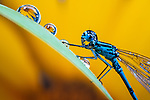 Pictured:   A common blue damselfly.  Incredible close-up photos show insects covered in perfectly formed dew drops.<br /> <br /> The macro shots include a wasp, a root weevil, a blue bottle fly, a dragonfly and snipe and yellow dung flies resting on leaves in the early morning dew.<br /> <br /> Calvin Lee, who works as a wedding photographer, took the photos after seeking out the insects shortly after dawn at Messingham Sand Quarry in North Lincolnshire.  SEE OUR COPY FOR FULL DETAILS.<br /> <br /> <br /> Please byline: Calvin Lee/Solent News<br /> <br /> © Calvin Lee/Solent News & Photo Agency<br /> UK +44 (0) 2380 458800