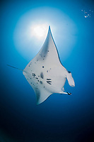 reef manta ray, Manta alfredi, Kandooma Manta Point, South Male Atoll, Maldives