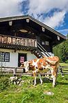 Deutschland, Bayern, Chiemgau, Ruhpolding: Vieh auf der Miasei Alm, bei der Brandner Alm | Germany, Bavaria, Chiemgau, Ruhpolding: cattle at alpine pasture Miasei Alm next to Brandner Alm