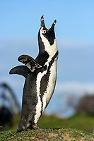African penguin, jackass penguin, or black-footed penguin, Spheniscus demersus, calling out, Betty's Bay, Western Cape, South Africa