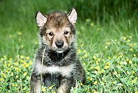 Gray wolf, Canis lupus, hybrid pup part Alaskan malamute sitting in grassy field with yellow flowers in grassy field with yellow flowers