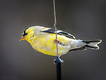 American Goldfinch, breeding male.