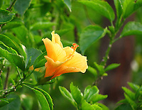 Divine looking golden yellow Hibiscus with green shrubs in the background