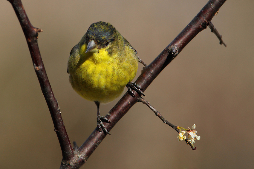 Lesser Goldfinches are tiny, stub-billed songbirds with long, pointed wings, and short, notched tails.