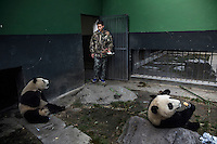 Researchers feed two year old captive bred pandas in their enclosure at the Hetaoping Panda Conservation Centre.