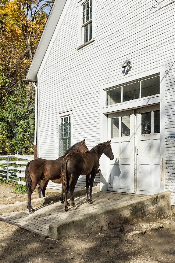 Two colts at the UVM Morgan Horse Farm, Weybridge, Vermont, USA.